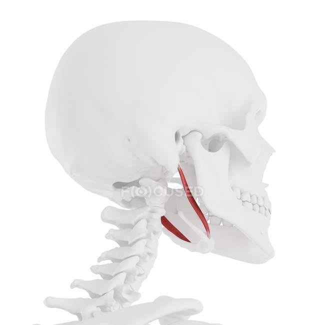 Modelo de esqueleto humano com músculo estilohioide detalhado, ilustração computacional . — Fotografia de Stock