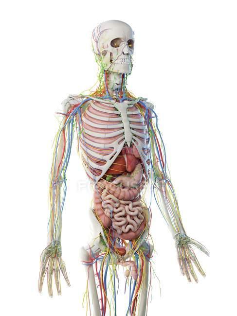 Anatomie du haut du corps masculin et organes internes, illustration par ordinateur . — Photo de stock