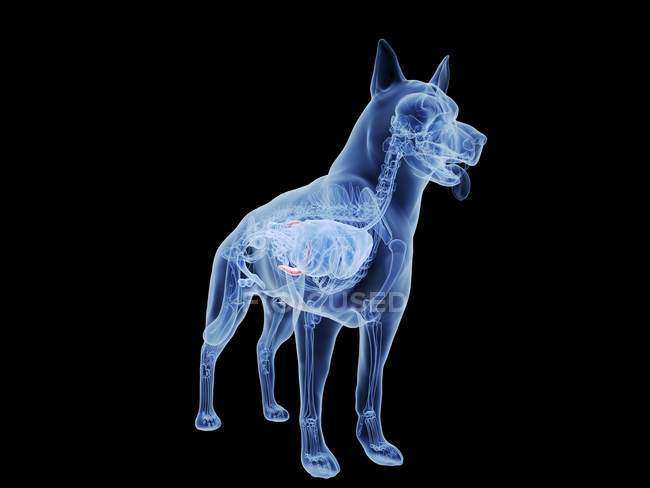 Dog silhouette with red colored spleen on black background, digital illustration. — Stock Photo