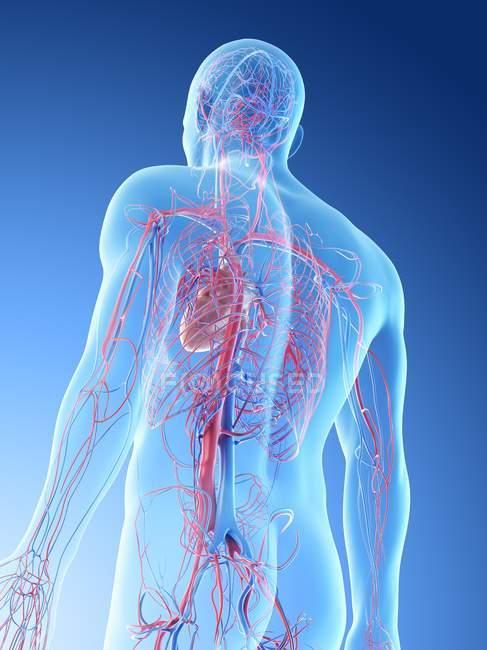 Vasos sanguíneos superiores del cuerpo humano, ilustración digital . - foto de stock