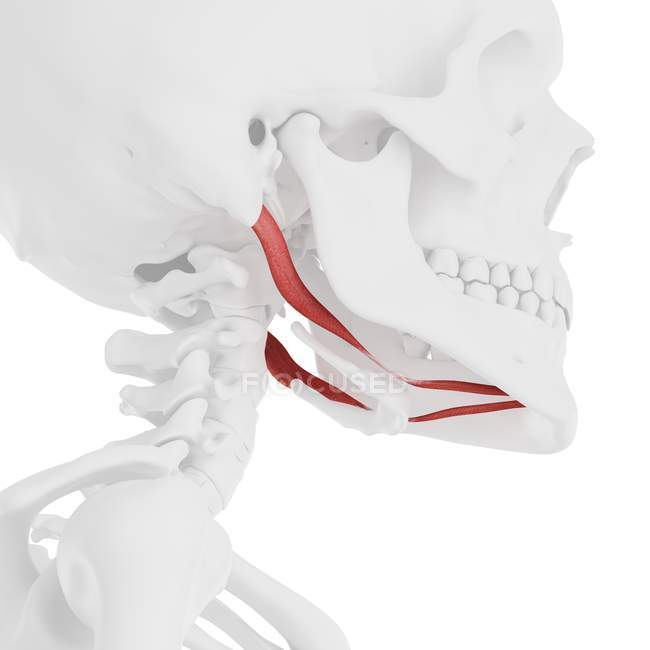 Human skull with detailed red Digastric muscle, digital illustration. — Stock Photo