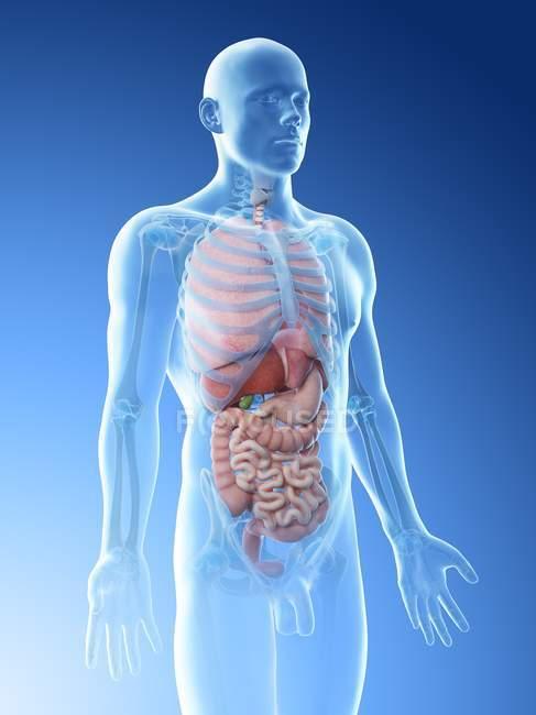 Modelo realista del cuerpo humano que muestra la anatomía masculina con órganos internos, ilustración digital . - foto de stock