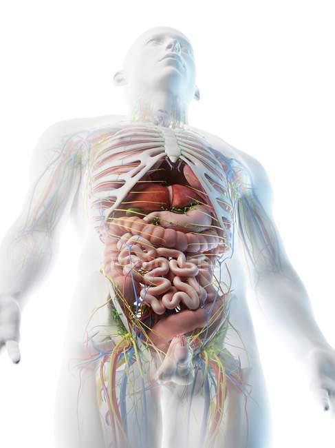 Anatomía del cuerpo superior masculino y órganos internos en vista de ángulo bajo, ilustración por computadora . - foto de stock