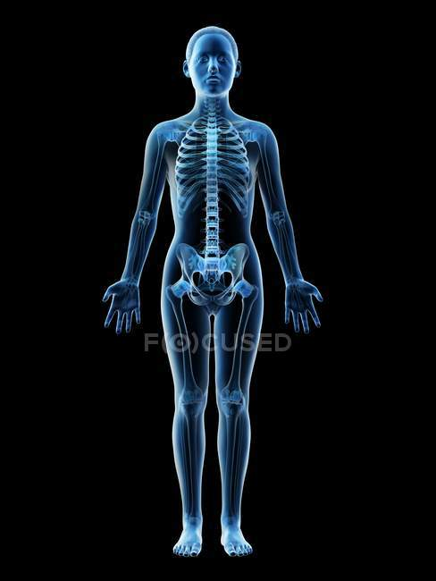 Female skeleton and ligaments in transparent body, computer illustration. — Stock Photo