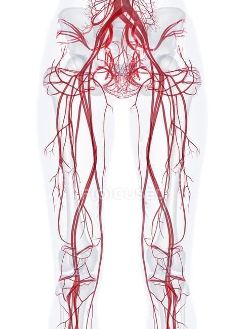 Estructura del sistema vascular femenino de las piernas, ilustración por computadora . - foto de stock