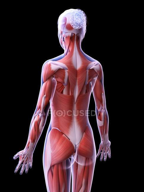 Realistic structure of female musculature, computer illustration. — Stockfoto