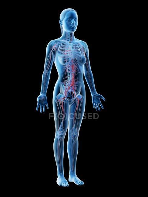 Anatomia femminile che mostra sistema vascolare, illustrazione digitale . — Foto stock