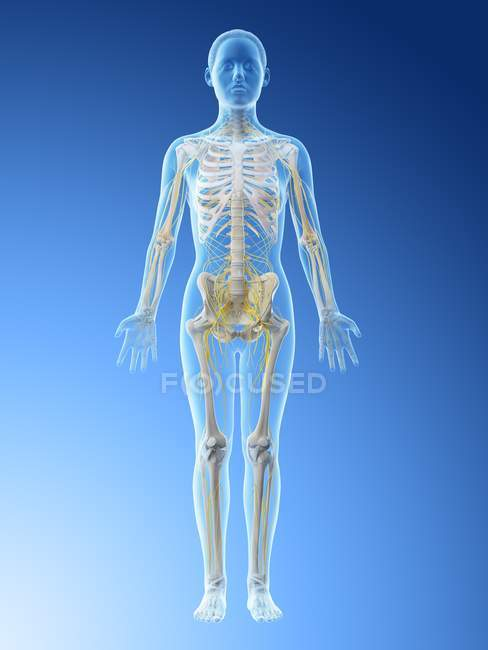 Female body silhouette with visible nervous system, computer illustration. — Photo de stock