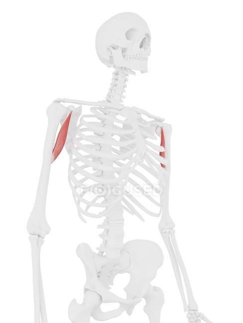 Esqueleto humano con músculo Coracobraquial rojo detallado, ilustración digital . - foto de stock