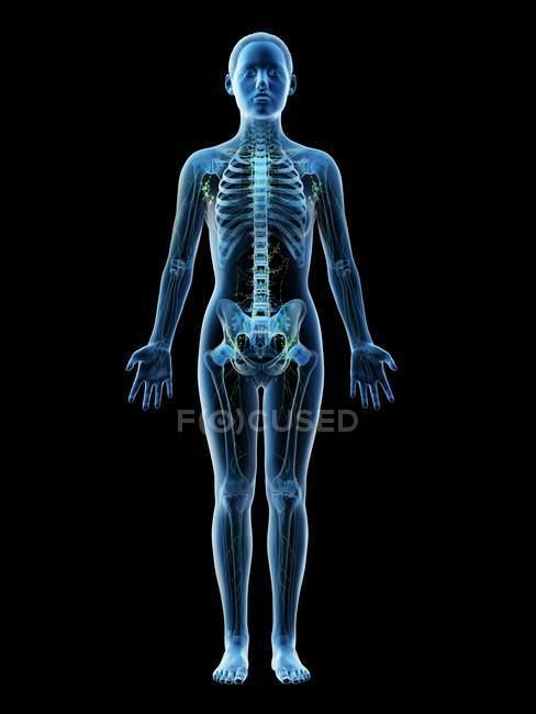 Modello femminile astratto con scheletro visibile e sistema linfatico, illustrazione al computer . — Foto stock
