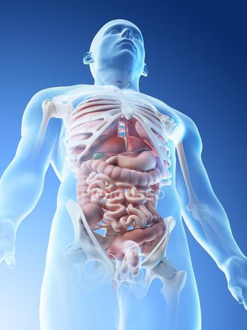 Modelo corporal transparente que muestra anatomía masculina y órganos internos, ilustración digital . - foto de stock