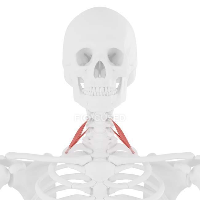 Esqueleto humano con músculo anterior Scalene de color rojo, ilustración digital . - foto de stock