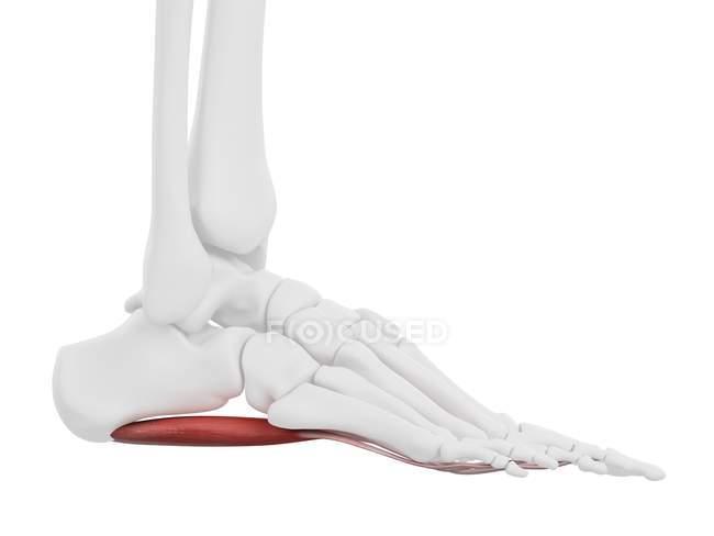 Parte del esqueleto humano con músculo rojo detallado Flexor digitorum brevis, ilustración digital . - foto de stock