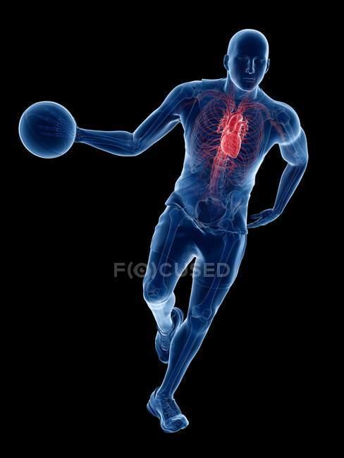 Anatomía del jugador de baloncesto con corazón visible, ilustración por ordenador . - foto de stock