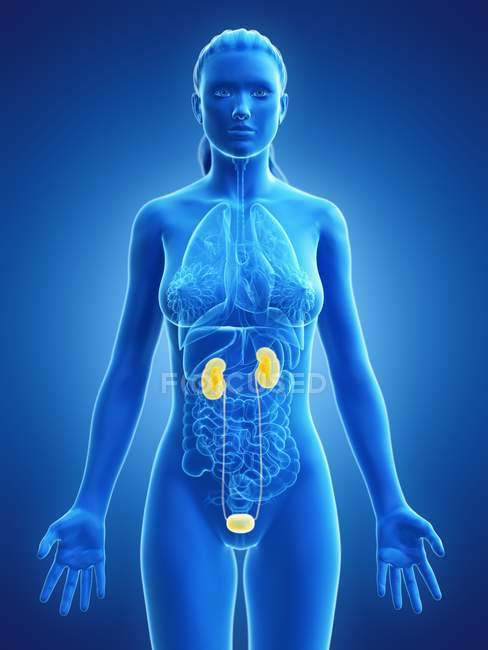 Female urinary system, anatomical digital illustration. — Stock Photo
