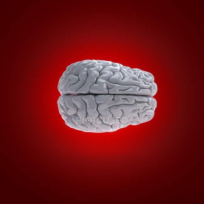 Modelo de cerebro humano blanco sobre fondo rojo, ilustración digital . - foto de stock