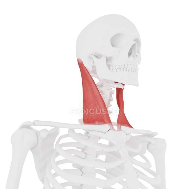 Esqueleto humano con detallado músculo esternocleidomastoideo rojo, ilustración digital . - foto de stock