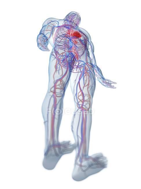 Кардиоваскулярная система в нормальном мужском теле, вид под низким углом, компьютерная иллюстрация. — стоковое фото