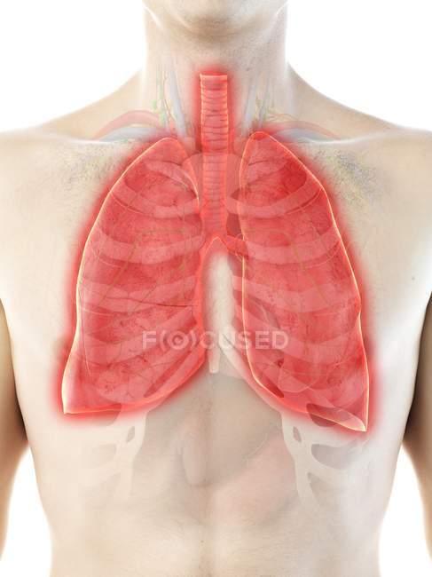Pulmones en anatomía del cuerpo masculino, ilustración por computadora . - foto de stock