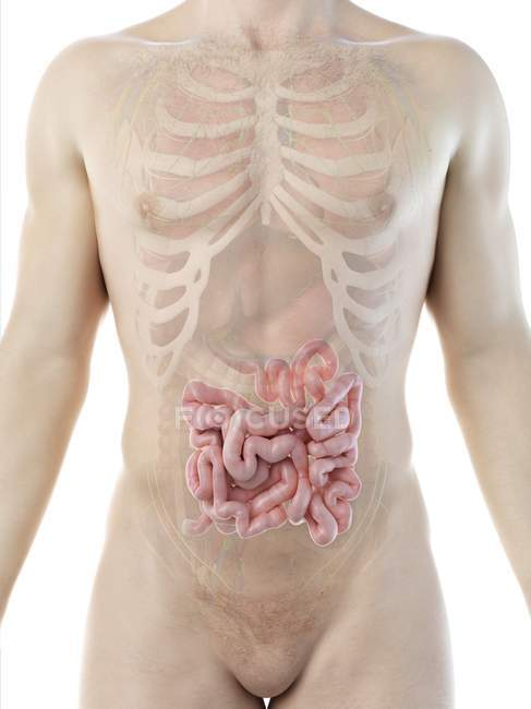 Silueta masculina con intestino delgado visible en sección media, ilustración digital . - foto de stock