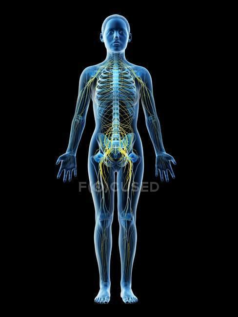 Silueta corporal femenina con sistema nervioso visible, ilustración por ordenador . - foto de stock