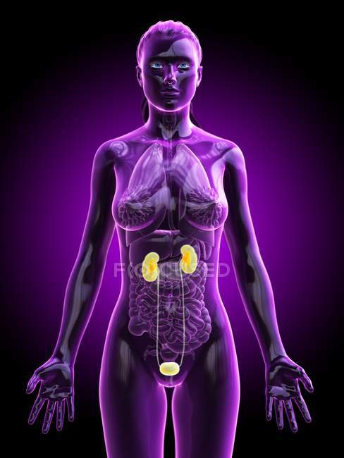 Silueta femenina con sistema urinario visible, ilustración digital . - foto de stock