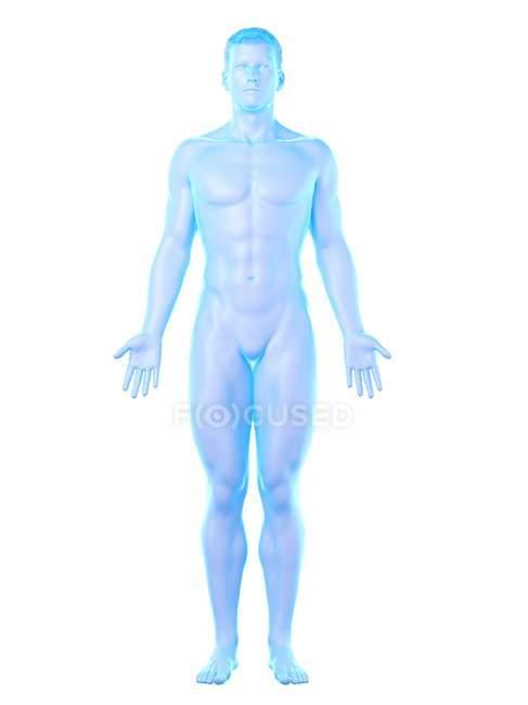 Human body model showing male anatomy, digital illustration. — Stock Photo