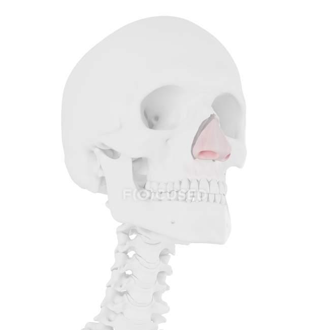 Esqueleto humano con cartílago nasal de color rojo, ilustración digital . - foto de stock