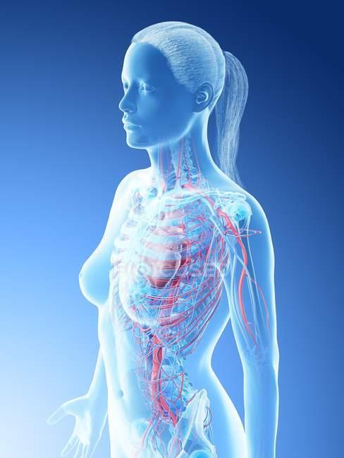 Vasos sanguíneos superiores femeninos, ilustración digital . - foto de stock