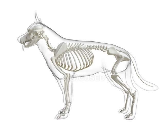 Dog silhouette with visible skeleton on white background, digital illustration. — Stock Photo