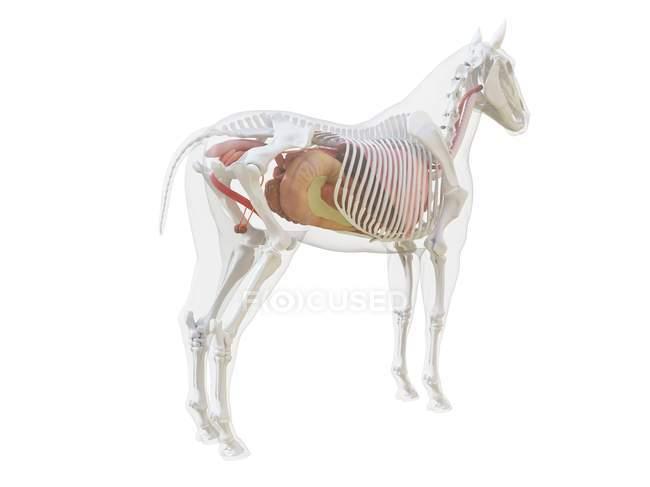 Anatomía del caballo y sistema esquelético, ilustración por ordenador . - foto de stock