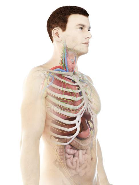 Realistic human body model showing male anatomy with internal organs behind ribs, digital illustration. — Stock Photo