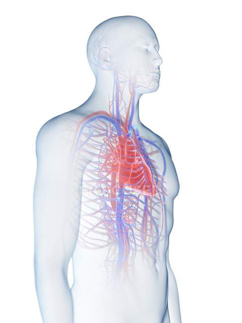 Sistema cardiovascular en el cuerpo masculino normal, ilustración por computadora . - foto de stock