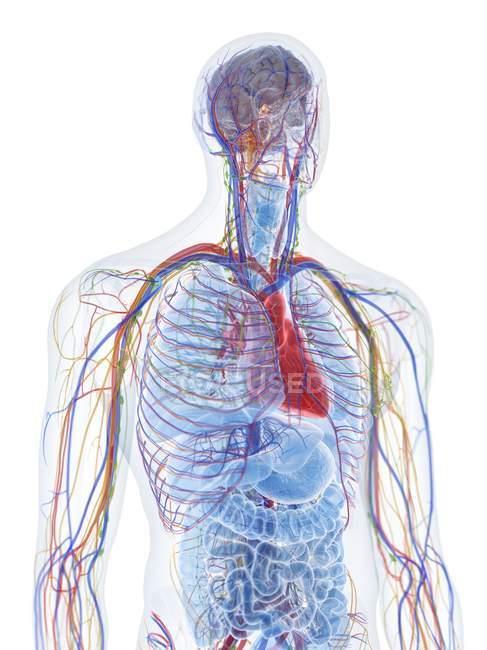 Anatomía y vasos sanguíneos de la parte superior del cuerpo masculino, ilustración por computadora . - foto de stock