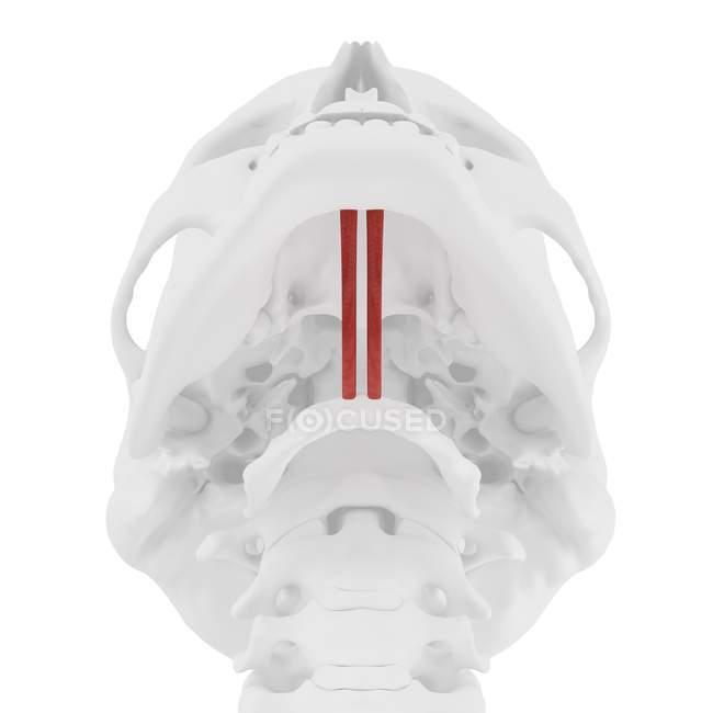 Calavera humana con detallado músculo Geniohyoid rojo, ilustración digital . - foto de stock