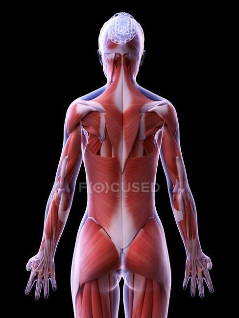 Realistic structure of female musculature, computer illustration. — Photo de stock