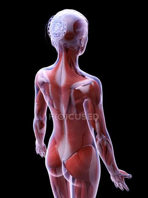 Structure réaliste de la musculature féminine, illustration par ordinateur . — Photo de stock