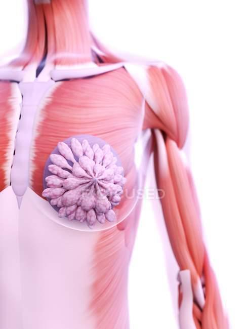 Anatomía de los implantes mamarios en el modelo 3d del cuerpo femenino, ilustración digital . - foto de stock