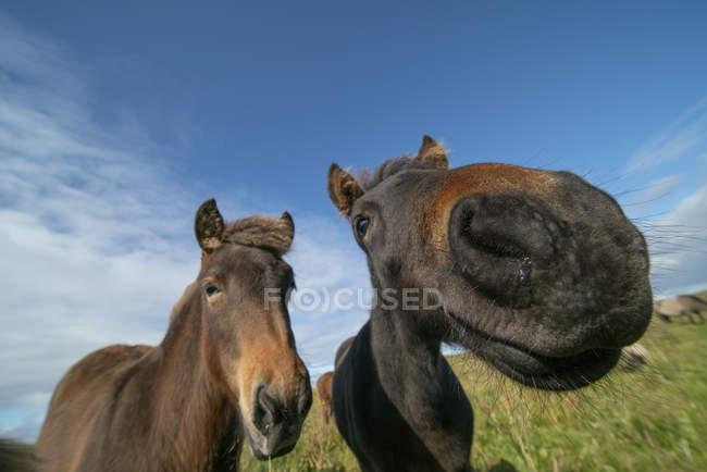 Primo piano di due cavalli che guardano in camera con effetto fisheye su prato verde sotto cielo blu con nuvole . — Foto stock