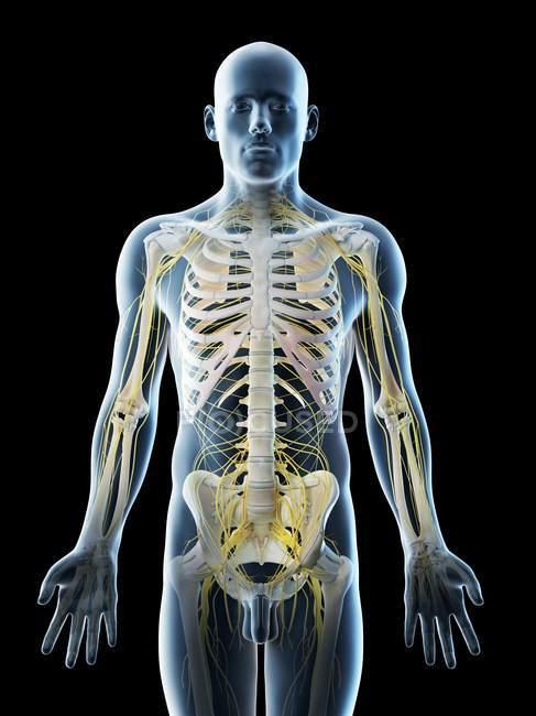 Sistema nervioso masculino en silueta corporal, ilustración por ordenador . - foto de stock