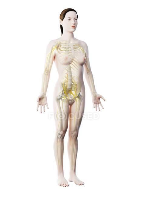 Силуэт женского тела с видимой нервной системой, компьютерная иллюстрация . — стоковое фото