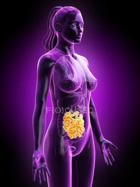 Silueta femenina con intestino delgado visible, ilustración digital . - foto de stock