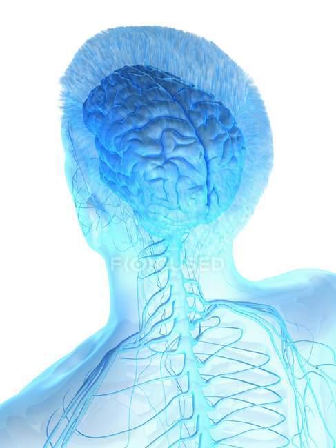 Anatomía del cuerpo masculino con cerebro visible, ilustración digital . - foto de stock