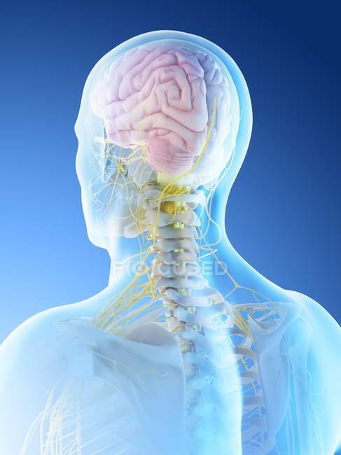 Cuerpo masculino con cerebro visible, ilustración digital . - foto de stock