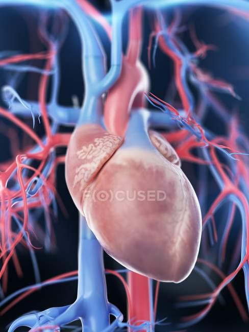Corazón y sistema vascular femenino, ilustración digital . - foto de stock