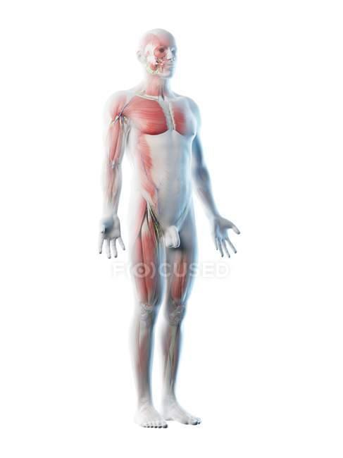 Modèle de corps transparent montrant l'anatomie masculine et le système musculaire, illustration numérique . — Photo de stock