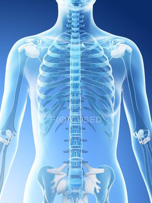 Abstract female upper body bones, computer illustration. — Stock Photo