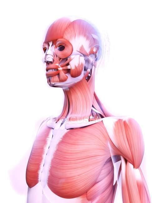 Structure réaliste de la musculature féminine, illustration numérique . — Photo de stock