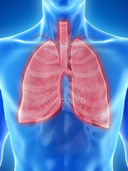 Lungs in anatomy of male body, computer illustration. — Stock Photo