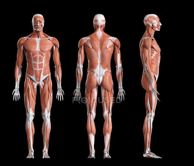 Composite digital illustration of male musculature in front, rear and side view. — Stock Photo